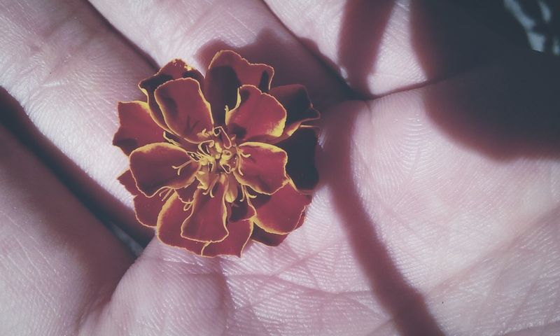 In the palm of a hand.......📷❤❤❤❤🌺 * * Flower Close-up Holding Human Hand Palm Fragility Flower Head Beauty Creation Of God ! Creativity Has No Limits Beauty In Nature Natural Beauty Love Photography SimplePic Quickpic Cool Shot