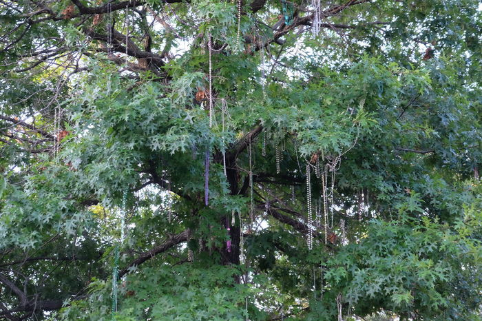 Beads Beauty In Nature Branch Day Flower Forest Freshness Green Color Growth Leaf Low Angle View Lush Foliage Nature NOLA Outdoors Park - Man Made Space Plant Scenics Tranquil Scene Tranquility Tree Tree Trunk