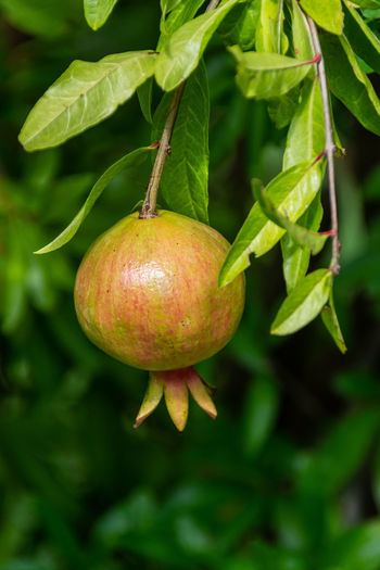 Close-up of pomegranate growing on plant