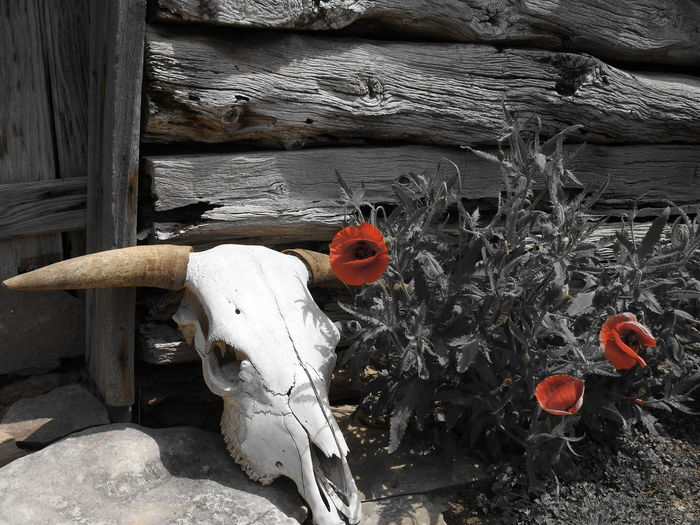 No People Day Red Close-up Outdoors Architecture Nature Flower Head Petal Flower Nature Focus On Foreground Poppy Red Poppy Castroville Tx Cow Bone Cow Skull Selective Color Beauty In Nature