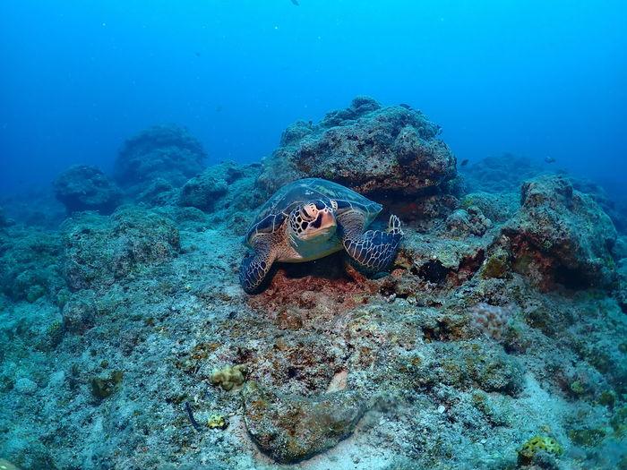 Green turtle looking at camera in ishigaki island