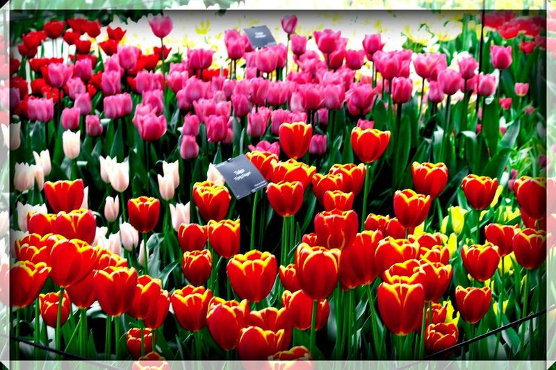 Tulipa Flower