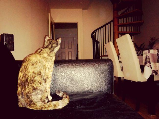 Cat Gato Beauty Marceline :)