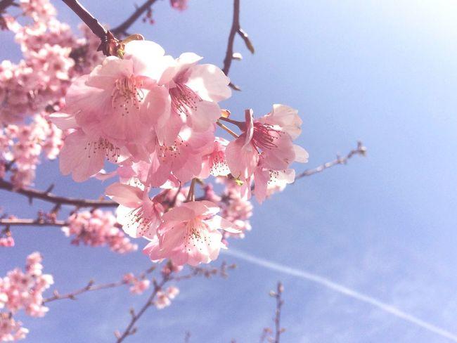 Flower Growth Nature Beauty In Nature Springtime Pink Color Blossom No People Outdoors 桜 Sakura Japan 佐鳴湖 浜松 Sanaruko Spring Plum Blossom Nature Pink