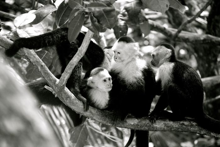 Animal Themes Animal Wildlife Animals In The Wild Costa Rica Day Manuel Antonio Monkey Nature No People Outdoors Togetherness Tree Young Animal