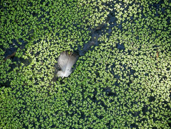 High angle view of feather with algae in pond