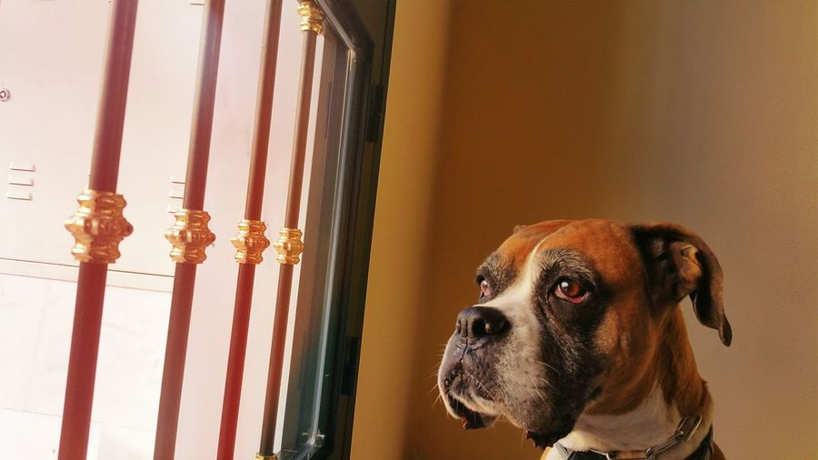 Boxer looking through window at home