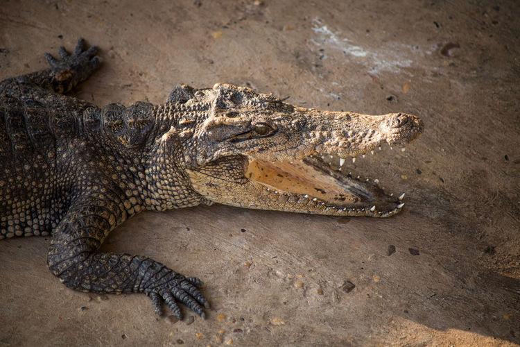 Close-up of crocodile on land