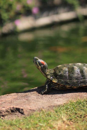 Close-up Turtle 🐢 Green Turtles Garden EyeEm Selects EyeEm Pond