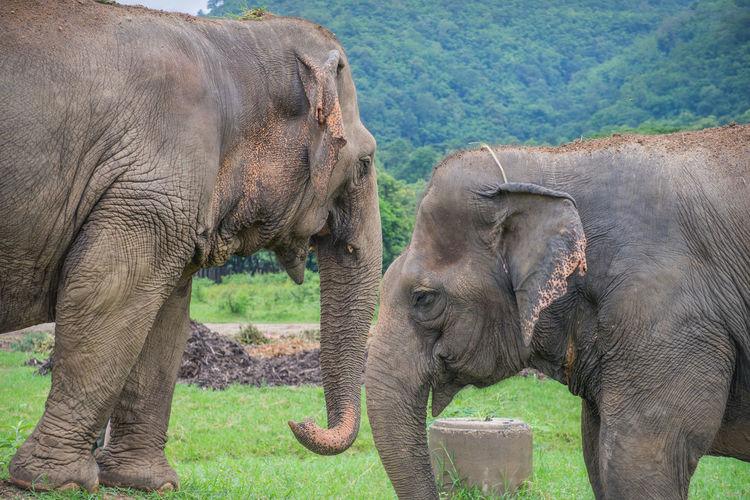 Elephants In A Farm