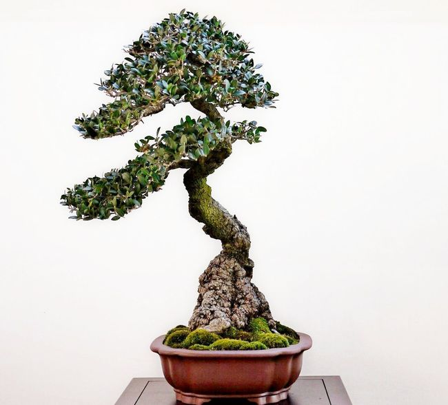 Bonzai Bonsai Tree Close-up Day Freshness Green Color Growth Indoors  Nature No People Plant Studio Shot Table Tree White Background