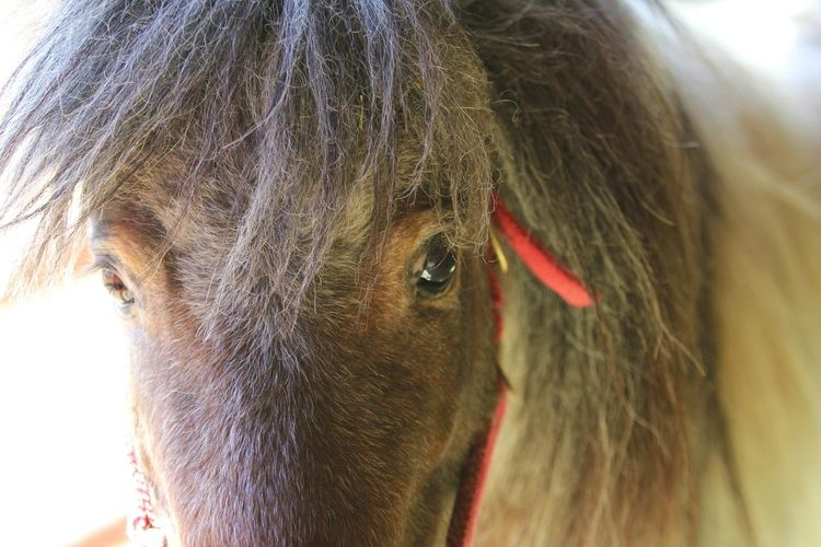Our miniature horse, Cooper. Super tiny but massive personality! Domestic Animals One Animal Close-up Horselife Horselove Horselovers Horse Love Horse Cowboy Country Living Colorado Farmlife Animal Head  Pets Country Life Miniature Horses Pony❤️ Pony In Stable Ponylife