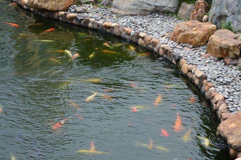 fish pond Koi