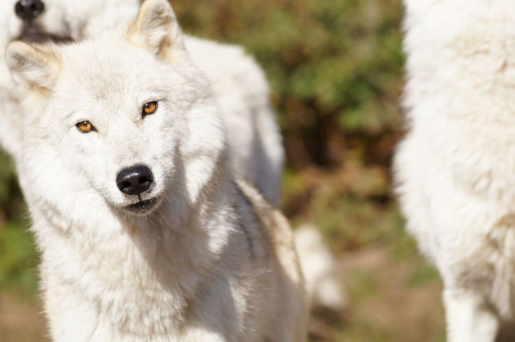 White Wolves Wolves In Forest Nature Wolf Outdoors Fun Day Out Beauty In Nature No People