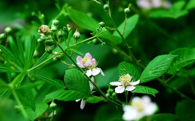 Blackberry Blossoms Blackberry Flowers Wildflowers Great Outdoors Outdoor Photography Nikon Photographer