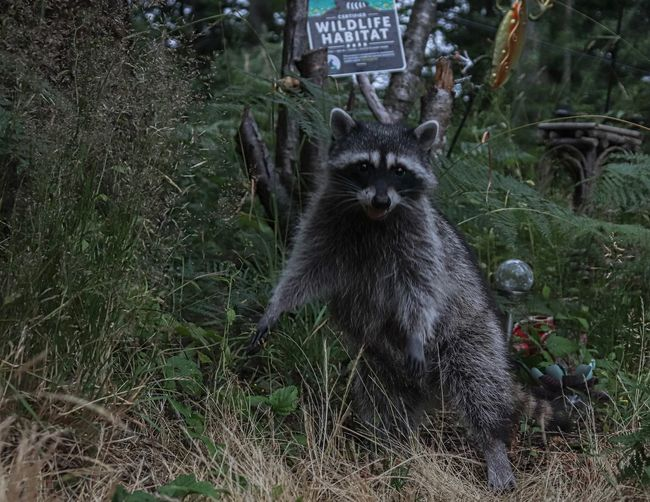 Raccoon Mammal Animal Themes One Animal Animal Pets Domestic Animals Domestic Plant Vertebrate No People Nature Day Land Portrait Looking At Camera Green Color Grass