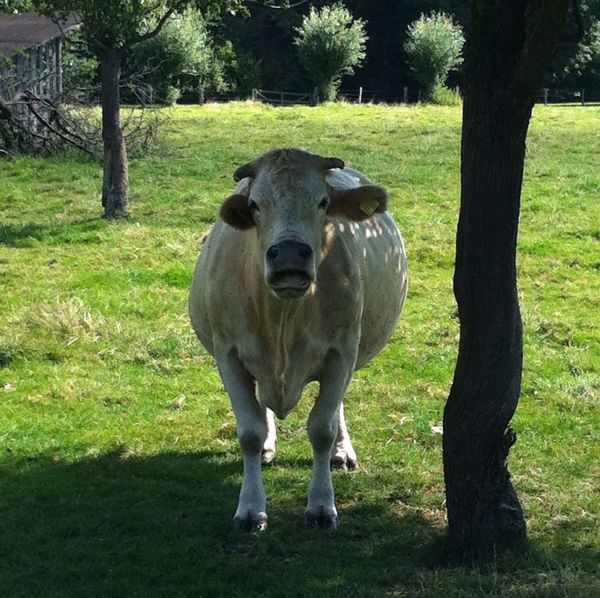 Open Mouth Muuu🐄 Kuh Cows Animals Tree Light And Shadow Animal Photography Eye4photography  Jopesfotos - Animals