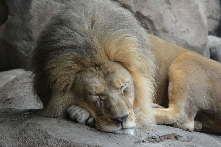 Close-up of a sleeping lion