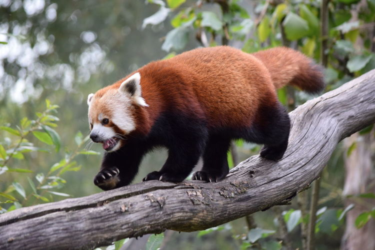 Red panda walking on branch