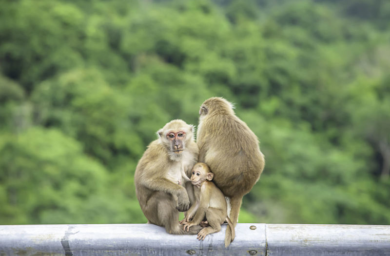 Father, mother and baby monkey sitting on a fence blocking the road background green leaves.