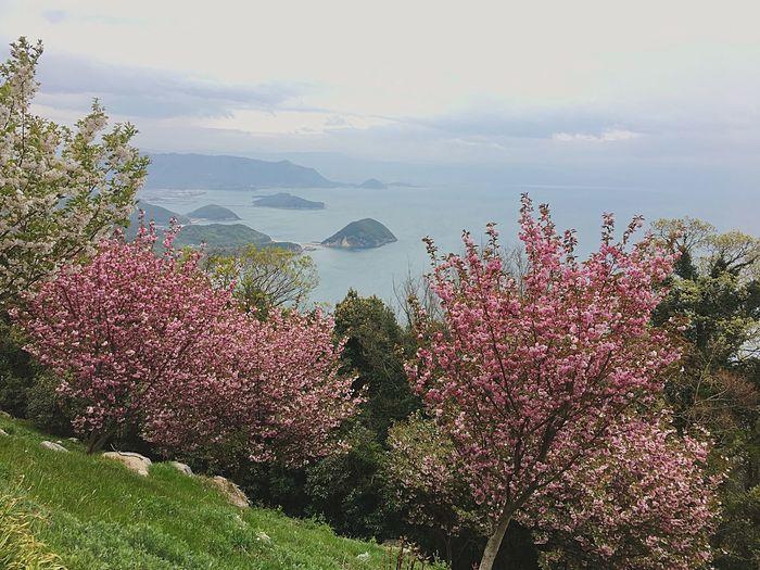 End of the sakura season Kagawa,Japan 紫雲出山 四國 Shikoku Blossom Japan 2018 Sakura Blossom Japan Sakura