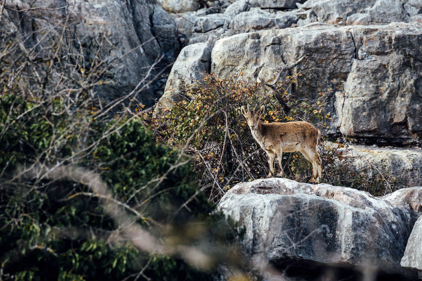 Spanish ibex Animals In The Wild Beauty In Nature Goat Mammal Nature Outdoors Rock Rock - Object Selective Focus Sierra Del Torcal Spanish Ibex The Great Outdoors - 2016 EyeEm Awards Torcal De Antequera Tranquil Scene Tree