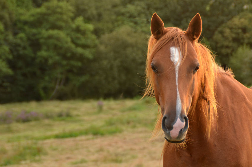 Portrait of a horse in a field Agriculture Animal Animal Face Animal Hair Animal Head  Animal Themes Brown Close-up Cute Domestic Domestic Animals Farm Farming Field Grass Green Color Herbivorous Horse Landscape Looking At Camera Mammal Mane Pasture Portrait Rural