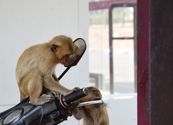monkey sitting on bike Thailand Animal Themes Monkey Animal Wildlife Cute Lovely Natural Sitting Baboon Sitting Pets Humor Primate Close-up