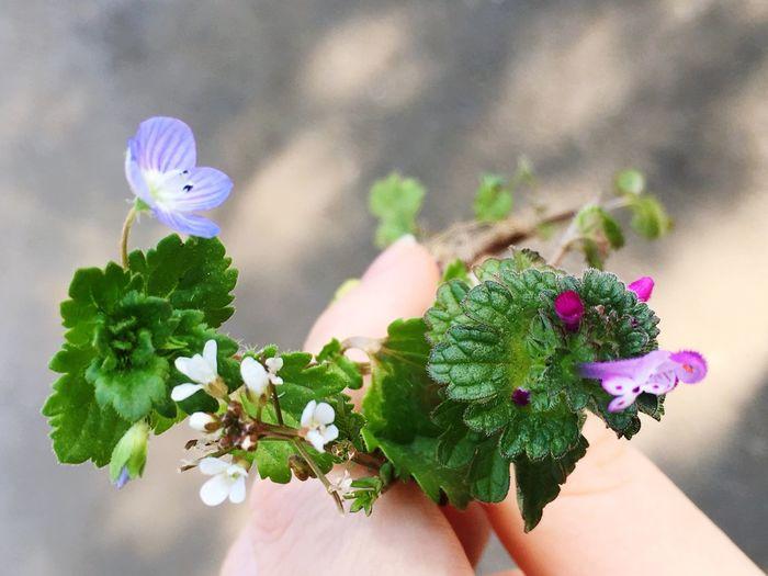 春の草花。 なずな ホトケノザ オオイヌノフグリ