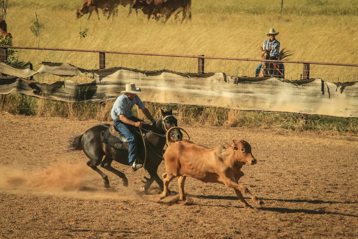 """Thought to have developed among the early stockmen and drovers of outback Queensland in informal competitions to prove horse skills, Campdrafting is a unique Australian sport involving a horse and rider working cattle. The rider """"cuts out"""" a beast from a mob of cattle in the """"camp"""" or yard, and then has to block and turn the beast at least two or three times to demonstrate that they have the beast under control. The aim is then to direct the chosen beast out of the yard and through a course in a figure eight involving right and left hand turns around pegs, before controlling it through the final """"gate"""" consisting of two pegs . The outside component of the course must be completed in less than 40 seconds. The first formal campdrafting competition occurred in Tenterfield at the Tenterfield Show Society's 1885 show with this shot being taken at the Powlathanga Campdraught in Far North Queensland. Australia Love Life, Love Photography Australia Beast Campdraught Cattle Cow Cowboy Cowboys Cut Out Dirt Drovers Dust Far Fnq Gate Hat Horse Horseback North Outback Powlathanga Queensland Riders Riding Ring Stockmen"""