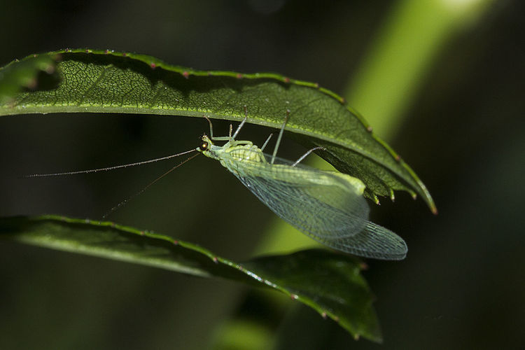 Animal Themes Animal Wildlife Animals In The Wild Chrysoperla Carnea Close-up Damselfly Day Focus On Foreground France Green Color Insect Leaf Nature No People One Animal Outdoors Perpignan Plant