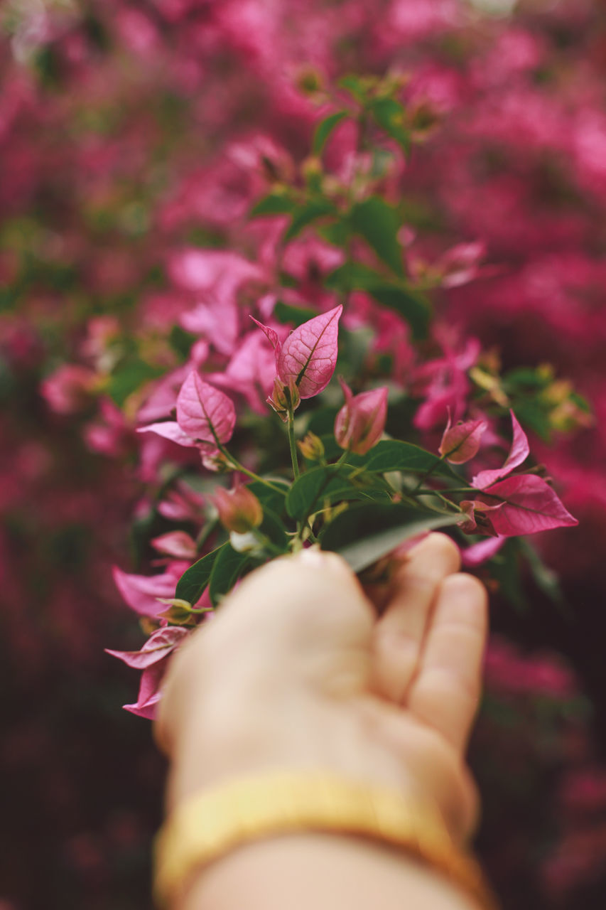Cropped Hand Of Woman Holding Pink Flowers