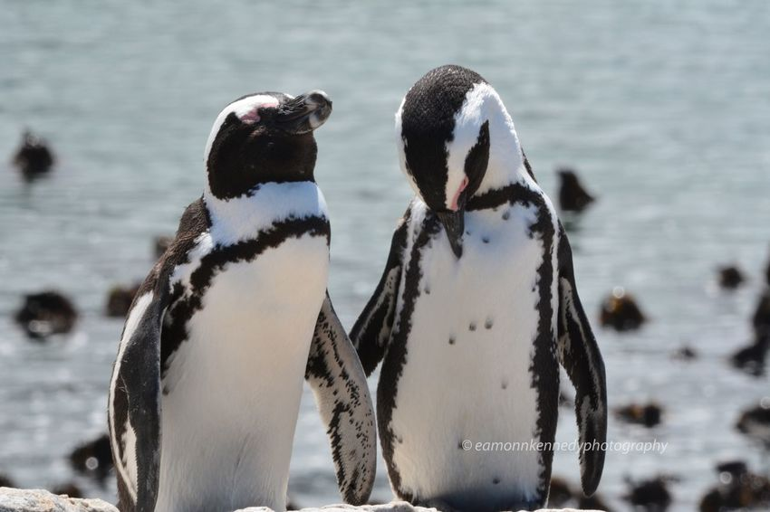 African penguins just relaxing in the sun Outdoors South Africa Madikwe Safaris Mammal Animals In The Wild Nature Penguins In Africa Penguin