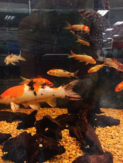 Aquarium filled with Goldfish Reflection in the Tank , they were attracted to it Cute Pet Store