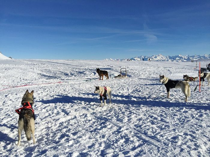 Dogs on snow covered land
