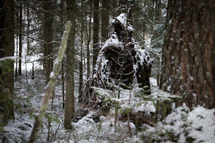 Tree root covered with snow Cold Depth Of Field Fantasy Forest Kodama  Leshy No People Selective Focus Tikbalang Weather Winter леший