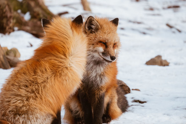 A Cute foxes on