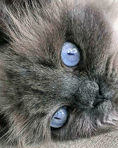Seemore, the cat. Cats Eyes I Love My Cat Cats Of EyeEm Baby Blue Eyes❤ Cat Model Seemore The Cat