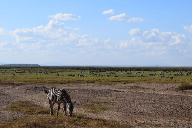 African Beauty Kenya Wildlife Zebra