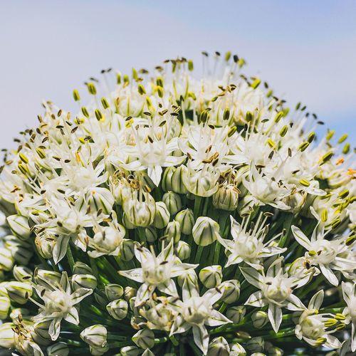 Beatiful but Useless Flowers of Green Onion