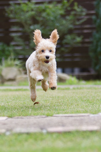 Portrait Of Dog Jumping On Field