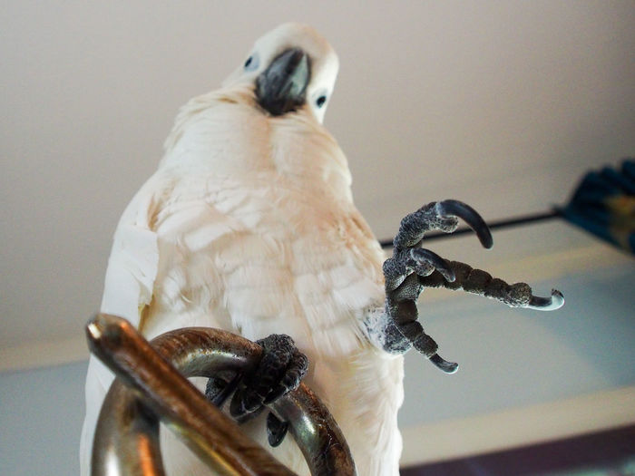 Clara the cockatoo Cockatoo Low Angle View Animal Themes Bird Brass Close-up Day Exotic Pets Focus On Foreground Indoors  Lamp Letter E Nature No People One Animal Parrot Perching Reaching Out White Color