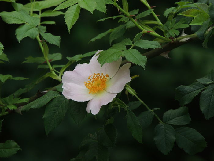 Beautiful Beauty In Nature Botany Green Rosehip Rosehip Flower Rosé Wild Rose