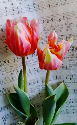 Nature_collection Beyond Beautiful Flower Collection Tulpenblüte Tulpe Im Licht Real Photography Verblühte Tulpen Tulips🌷 Red Flowers Closeup Artistic Photography Eyem Best Shots Vitality Red Color Indoors  StillLifePhotography Music Music Sheet Notes From The Undeground  Fruit Studio Shot Close-up
