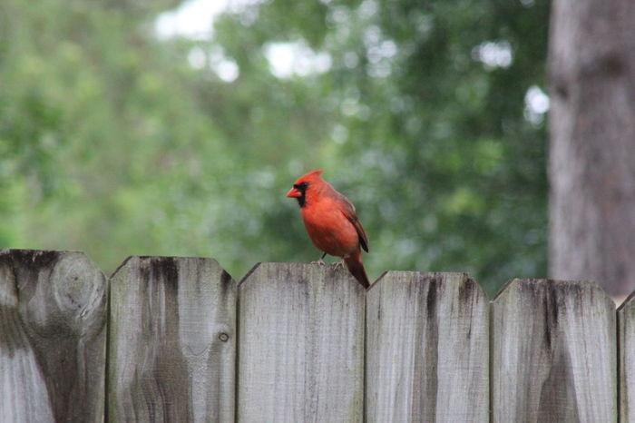 Animal Themes Beauty In Nature Bird Eyemphotos Fence Nature Outdoors Perching Popular Photos Red Redbird Wildlife Wooden