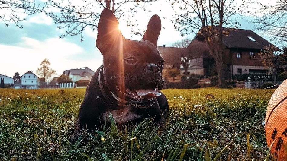 Sky Grass Outdoors Nature Day Domestic Animals Building Exterior Pets Tree Spring Summer Animal Themes Frenchbulldog Canonphotography Bulldog