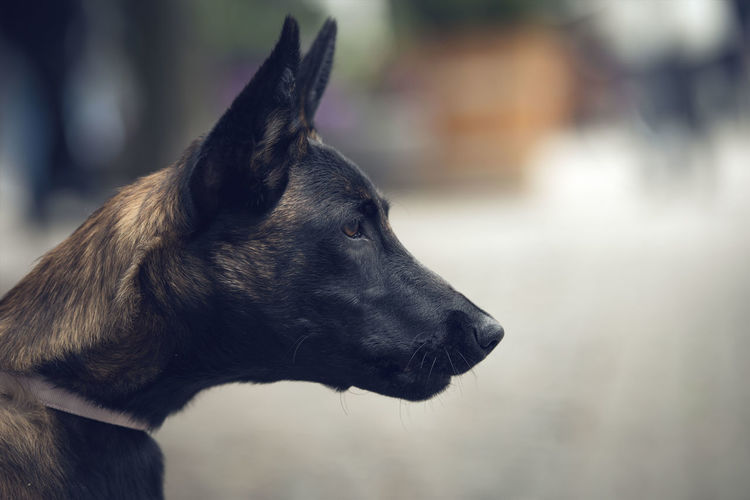 Close-up of malinois