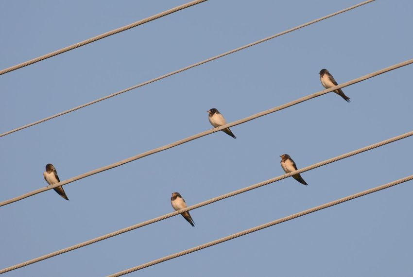 Animal Animal Themes Animal Wildlife Animals In The Wild Bird Blue Cable Clear Sky Connection Day Group Of Animals In A Row Low Angle View Medium Group Of Animals Metal Nature No People Power Line  Sky Vertebrate