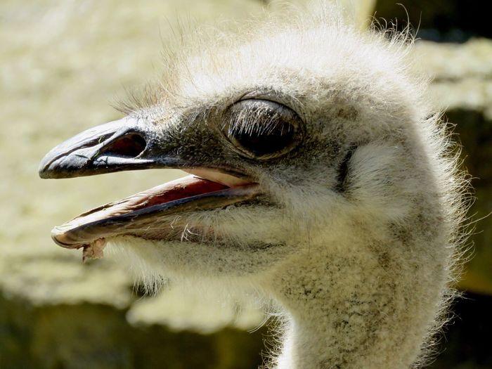 Close-up of emu at dublin zoo