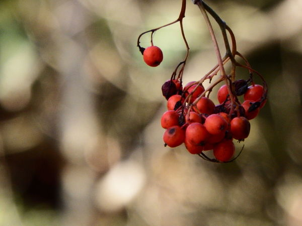 Eyes on the prize. Love being up close and personal with foreground objects. Autumn Berries Life Love Nature Nature Photography Close-up Focus On Foreground Macro Outdoors Simple